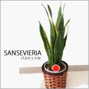サンスベリア 5号鉢