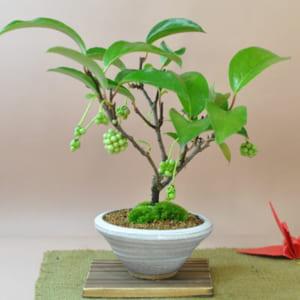盆栽 美男かずら 観葉植物 鉢植え