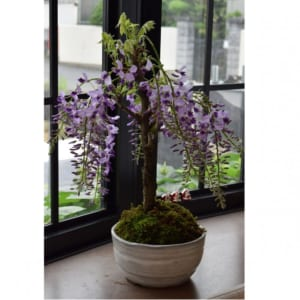藤満開乱れ咲き藤盆栽