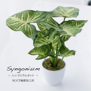 ☆ミニ 観葉植物 シンゴニウム☆【SC(CT)触媒加工済み】
