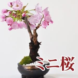 【送料無料】  盆栽 旭山桜 観葉植物 鉢植え
