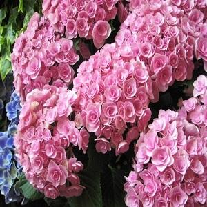母の日 花 プレゼント 鉢植え あじさい ピンク系あじさい 品種はプロにおまかせ♪◆今年1番オススメのかわいいピンクあじさい by フラワーガーデン リーブス