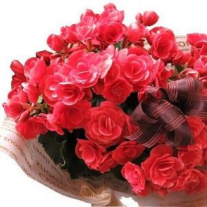 母の日 プレゼント 鉢植え ベゴニア ボリアス系 ◆母の日ギフト 花鉢 ベゴニア by フラワーガーデン リーブス