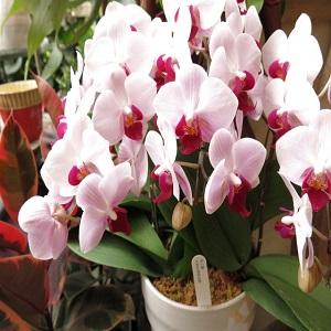 母の日 プレゼント 胡蝶蘭 鉢植え ◆母の日ギフト 花鉢 かわいい胡蝶蘭 by フラワーガーデン リーブス