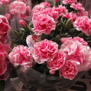 母の日 プレゼント 鉢植え カーネーション ピンク系 プロにおまかせ♪ ◆母の日ギフト 花鉢 by フラワーガーデン リーブス
