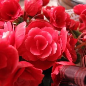 母の日 プレゼント 鉢植え ベゴニア ボリアス系