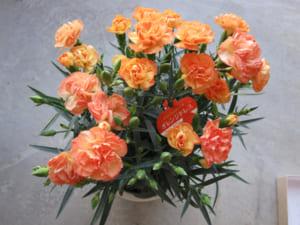花びらジャムとカーネーション鉢花のセット