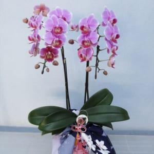 ミディ胡蝶蘭ピンク2本立 風呂敷包み