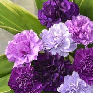 サントリー ムーンダストカーネーションの花束