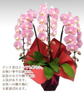 ピンク胡蝶蘭